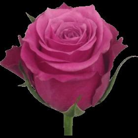 Роза Кения по 45 р.
