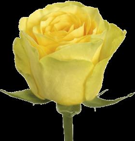 Роза Сфинкс (Sphinx)