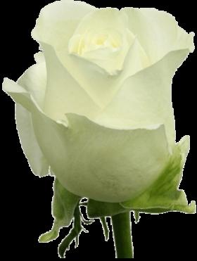 Роза Вендела (Vendela)