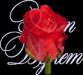 Уральская роза «Дарк Вау»