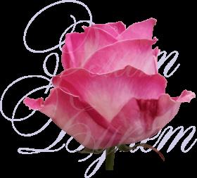 Уральская роза «Кэнди Аваланш»