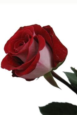 Леди роза