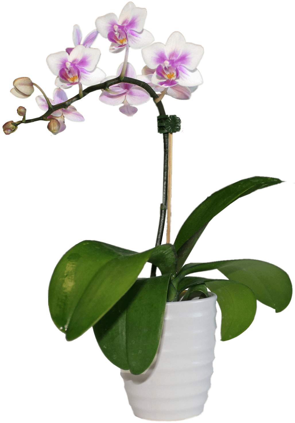 Комнатные цветы с фото орхидея