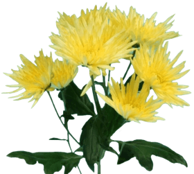 Хризантема «Анастасия»
