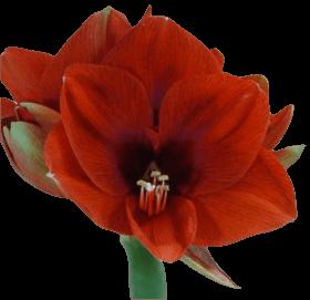 Амарилиус красный