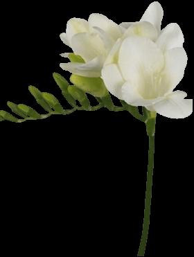 Фрезия «Арджента»