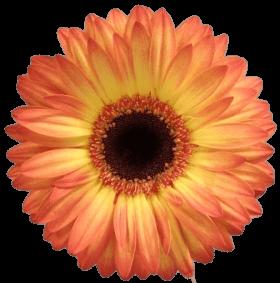 Гербера желто-оранжевая