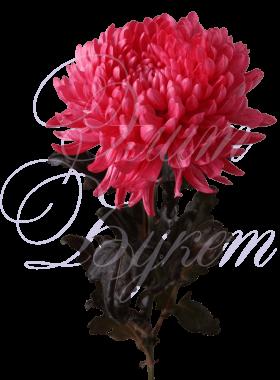 Хризантема «Антонов красный»