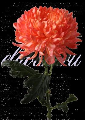 Хризантема «Антонов оранжевый»