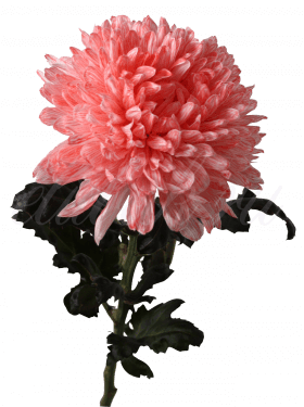 Хризантема «Антонов розовый»