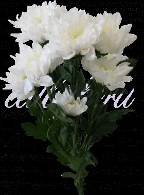 Хризантема «Балтика белая»