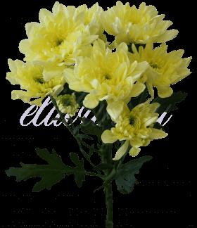 Хризантема «Балтика кремовая»