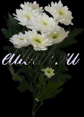 Хризантема «Зембла белая»