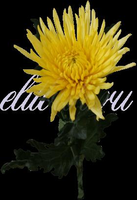 Хризантема «Анастасия желтая»