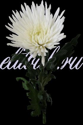 Хризантема «Анастасия белая»