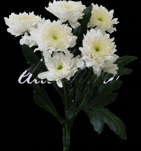 Хризантема «Евро белый»