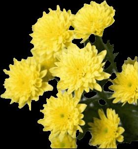 Хризантема «Евро Желтый»
