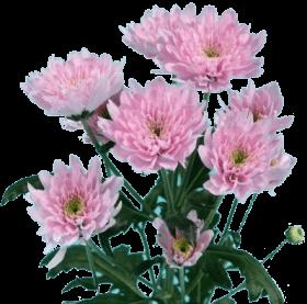 Хризантема «Евро розовый»