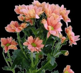 Хризантема «Гранд Саламон»