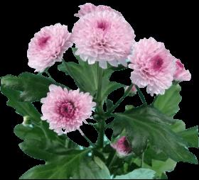 Хризантема «Лолипоп розовый»