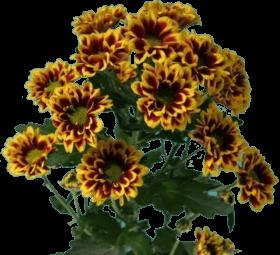 Хризантема «Раиса»