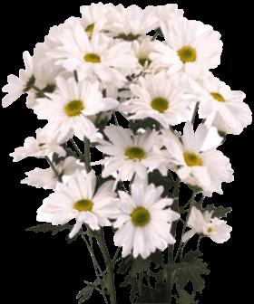 Хризантема «Рейган белая»