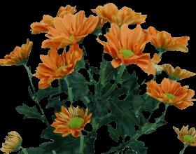 Хризантема «Рейган оранжевый»