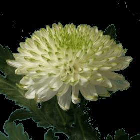 Хризантема «Зембла лайм»