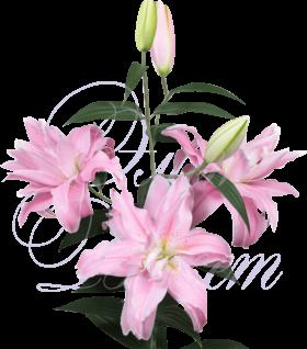 Лилия пионовидная