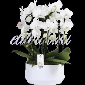 Орхидея Фаленопсис белый большой
