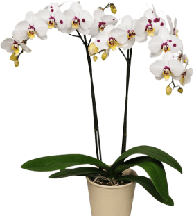 Орхидея Фаленопсис белая с пятнами