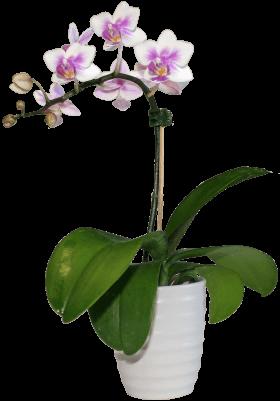 Орхидея Фаленопсис бело-фиолетовый