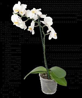 Орхидея Фаленопсис белый малый