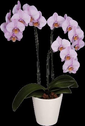 Орхидея Фаленопсис фиолетовый большой