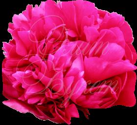 Пион ярко розовый