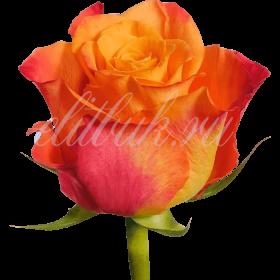 Роза Кения красно-оранжевая 40 см