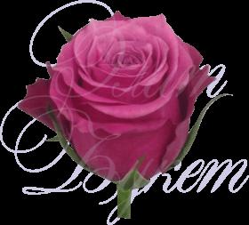 Роза Кения розовая 40 см