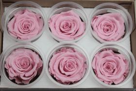 Стабилизированный цветок - Бледно-розовая роза
