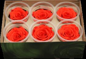 Стабилизированный цветок - коралловая роза
