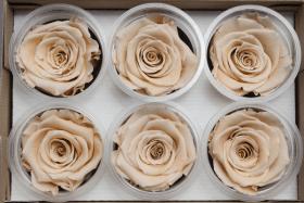 Стабилизированный цветок - Молочная роза