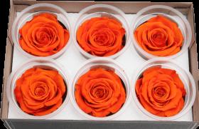 Стабилизированный цветок - светло-коралловая роза