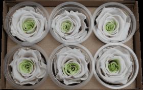 Стабилизированный цветок -Белая с зеленым роза