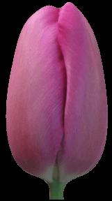 ������� ������ (Tulip Markiz)