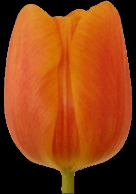 Тюльпан Принцесса Ирен (Tulip Prinses Irene)