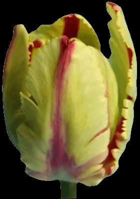 Тюльпан Фламинг Паррот (Flaming Parrot)