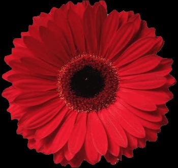 Гербера красная