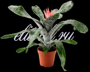 Горшечный цветок «Эхмея»