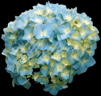 Гортензия Кения голубая