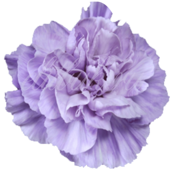 Гвоздика «Moon Lavender»