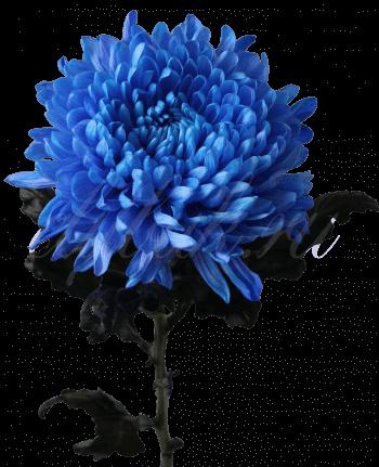 Хризантема «Антонов синий»